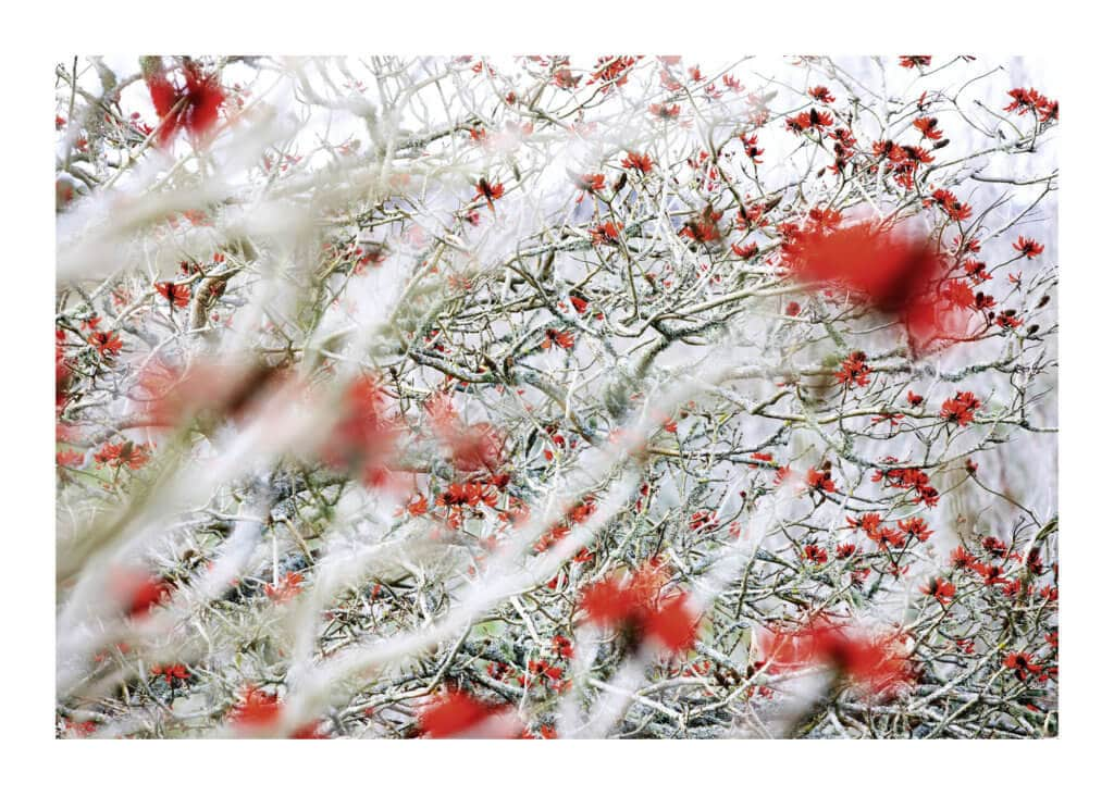 Peter Ginter Photography - FineArt-Print - Coral Tree - New Zealand Photo