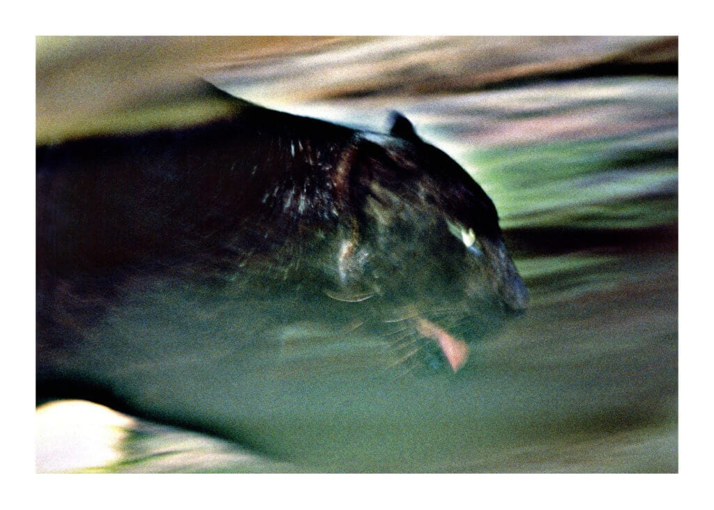 Peter Ginter Photography - FineArt-Print - Black Panther Photo - Malaysia