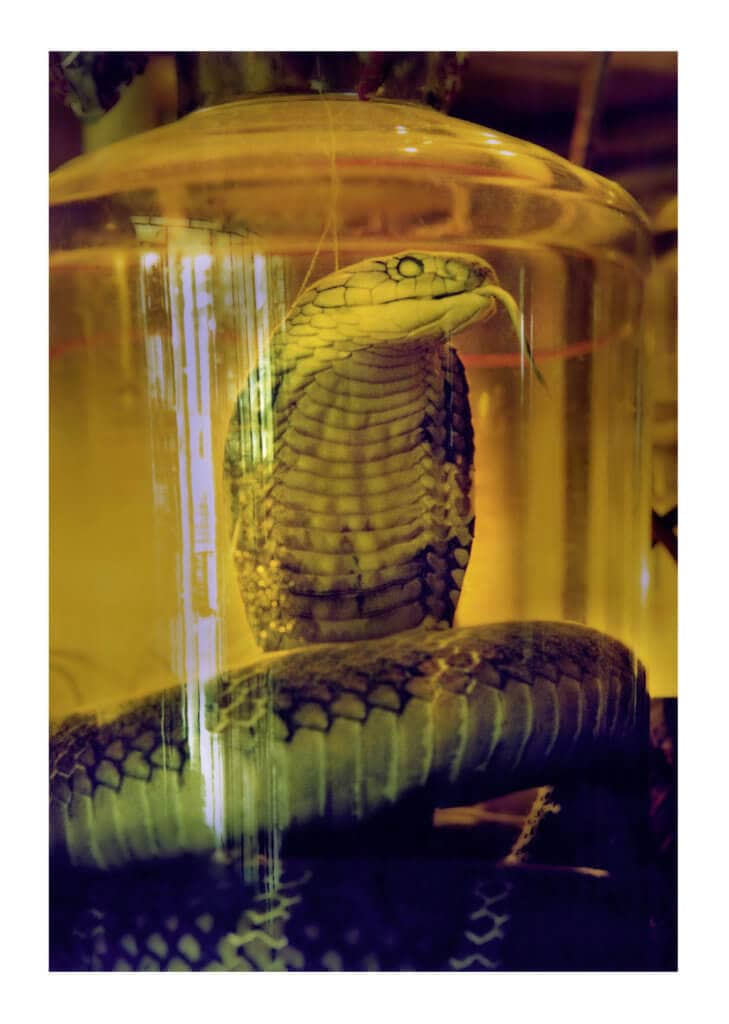Peter Ginter Photography - FineArt-Print - King Cobra Vietnam - Hanoi