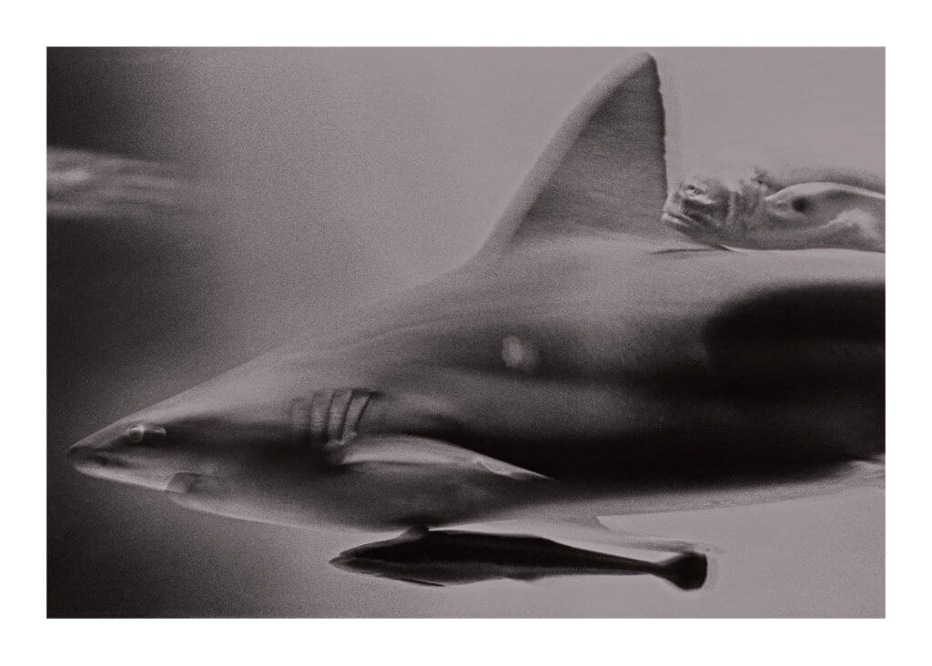 Peter Ginter Photography - FineArt-Print - Shark - Black and White