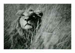 Lion Pride / Botswana 2002 © Peter Ginter